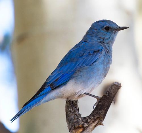 幸せの青い鳥はどんな種類の鳥なのか?