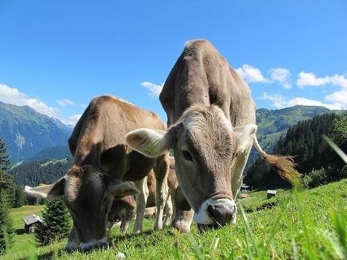 地球温暖化の原因の1つは家畜の「げっぷ」?