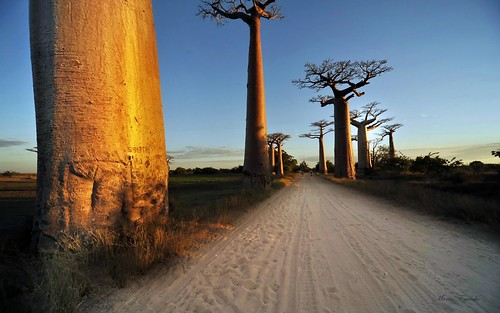 ひっくり返して地面に刺したような大木「バオバブ」とは?