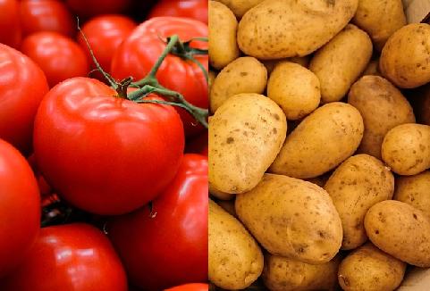 融合に成功した野菜「ポマト」とは?