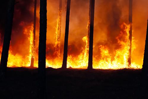 燃えることで種子をばらまく「バンクシア」とは?