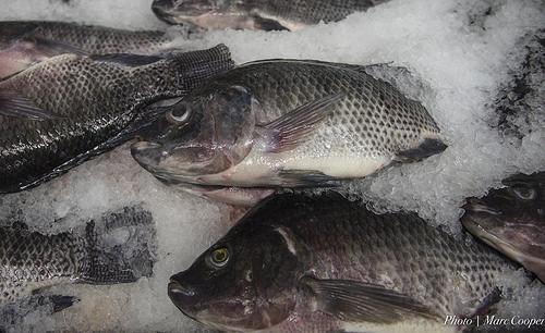 肉や魚を冷凍したときの化学変化とは?