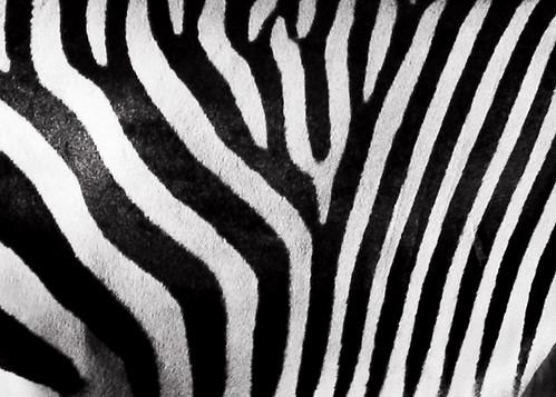 シマウマの縞模様にはどのような意味があるのか?