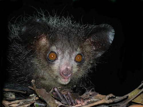 悪魔として恐れられたマダガスカル島の「アイアイ」とは?