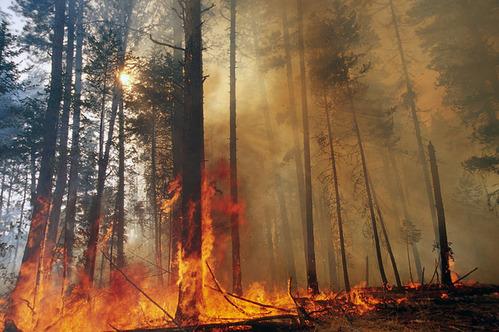 山火事を利用するオーストラリアの「ユーカリ」