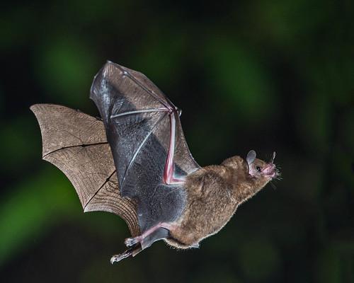 ハエなのに翅を持たない?コウモリに寄生する「クモバエ」とは?