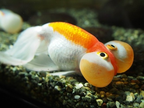 眼の下に巨大な袋を持つ謎の金魚「スイホウガン(水泡眼)」とは?