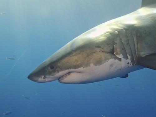 卵、共食い、ミルクまで――サメの驚くべき繁殖方法の多様性とは?
