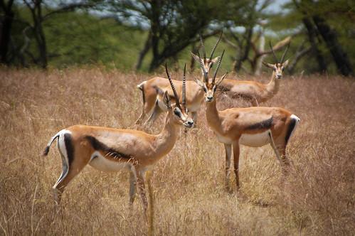 捕食者に狙われた動物の意外な行動――「ハンディキャップ理論」とは?