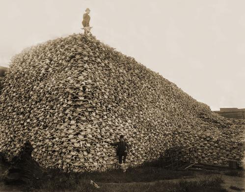 インディアンを服従させるために乱獲され、絶滅寸前にまで追い込まれた「アメリカバイソン」