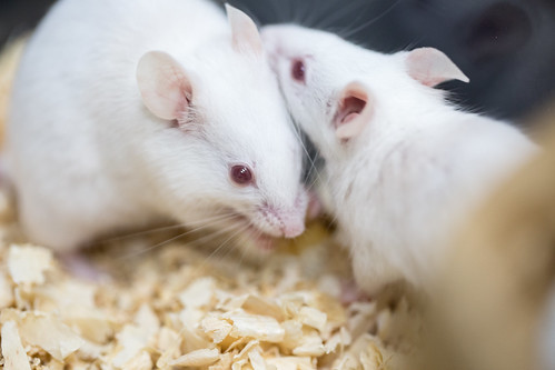 思春期のストレスは社交性に大きな影響――失われた社交性を取り戻す、マウスに学ぶ社交術とは?