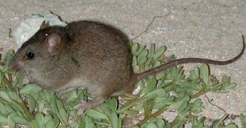 気候変動による初の哺乳類絶滅を確認、絶滅した「ブランブル・ケイ・メロミス」とは?