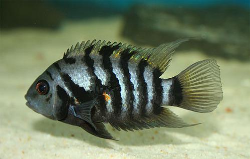 パートナーと引き離されたメスの魚は悲観的な行動を取るようになる、ブルゴーニュ大学の研究