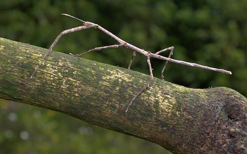 国内12例目となるナナフシのオスが発見される、ぐんま昆虫の森