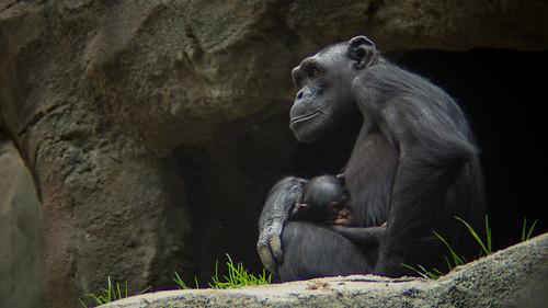 多くの類人猿は相手の立場にたって考えることができる