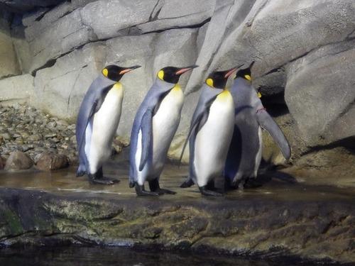 同性カップルのペンギンが子育てに挑戦中、ベルリン動物園