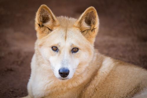 """偶然迷い込んだ子犬が、雑種化により姿を消しつつある""""純血""""のディンゴだった"""