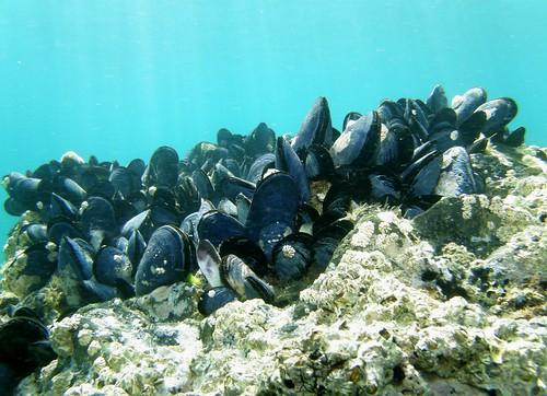ムール貝でがんが伝染