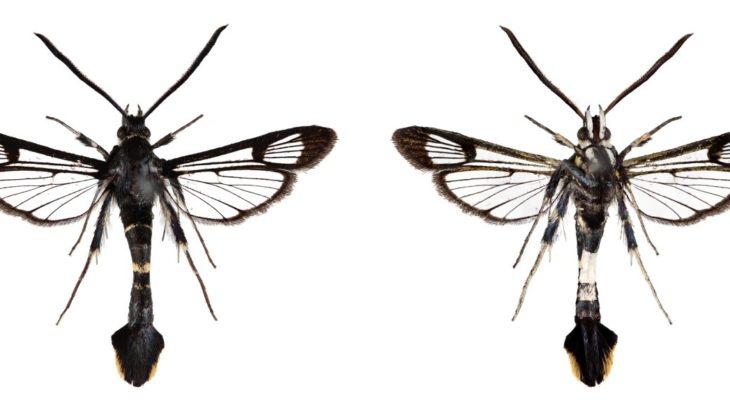 ナシ園を荒らす謎のイモムシが実は新種、「ナシコスカシバ」と命名