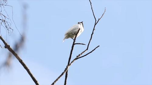 まるで破壊光線、世界で最も鳴き声の大きい鳥「スズドリ」とは?