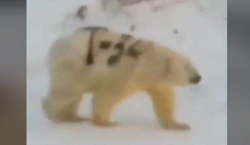 「T-34」とペイントされたホッキョクグマが発見される、SNSで話題に