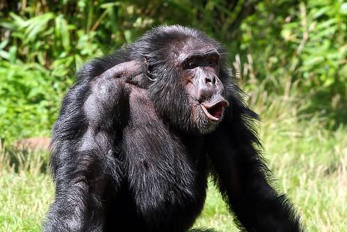 """チンパンジーもリズムに""""乗る""""、京都大学の研究"""