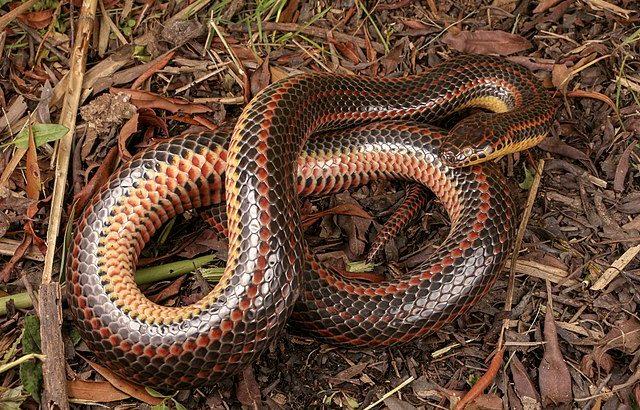 珍しい「ニジヘビ」をハイカーが50年振りに発見、フロリダ州