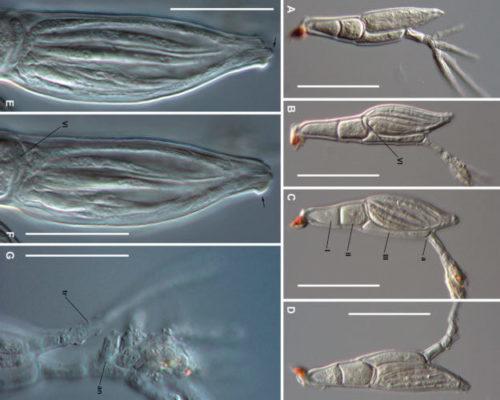 ラブルベニア菌