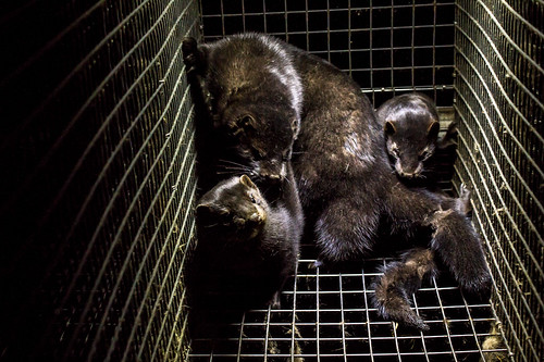 オランダの毛皮農場で動物からヒトへ感染した可能性、新型コロナウイルス感染症