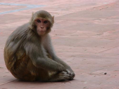 インドでサルが新型コロナウイルス患者の血液サンプルを奪う