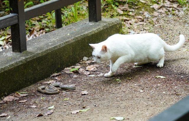 猫が毒ヘビに噛まれたときの生存率は犬の2倍、クイーンズランド大学