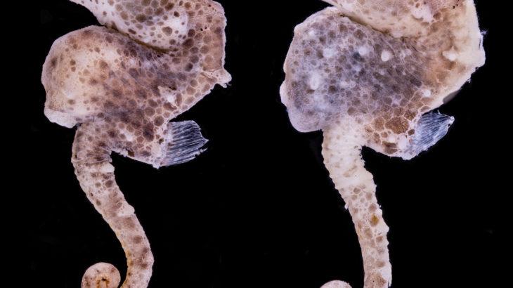 ピグミーシーホースの新種をアフリカで発見、太平洋以外では初めて