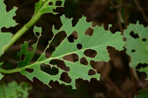 植物に残された「食べ痕」から食べた虫を突き止めることに成功、京都大学・神戸大学
