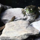 「ヘビに睨まれたカエル」、恐怖で動けないのではなく最良の戦術