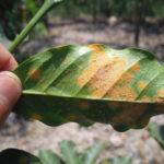 害虫のカタツムリがコーヒー絶滅の危機を救う可能性