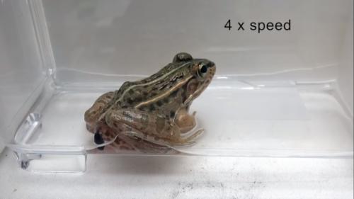 カエルに食べられてもお尻から脱出する昆虫が発見される、神戸大学
