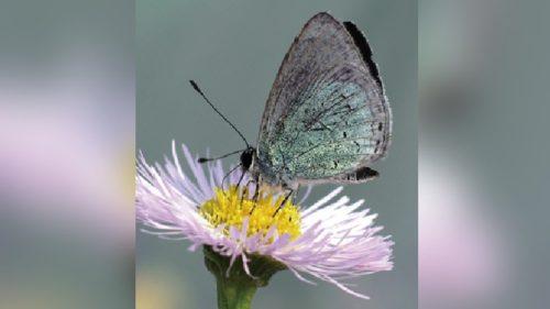 オガサワラシジミの飼育個体が全滅、日本で初めてチョウが絶滅した可能性
