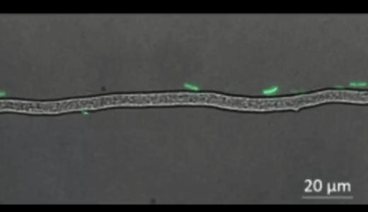 細菌は糸状菌が作る「高速道路」を利用して移動し、かわりに「通行料」として栄養を分け与える
