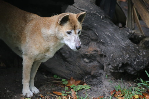 ニューギニアシンギングドッグ