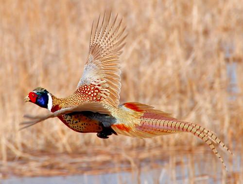Ring-necked pheasant flying Lacreek National Wildlife Refuge