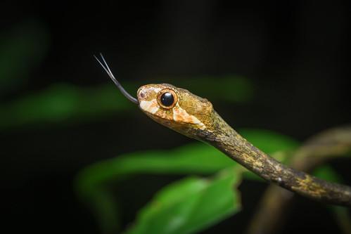Aplopeltura boa, Blunt-headed tree snake - Mueang Krabi District