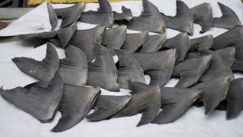 Fresh shark fins drying on sidewalk