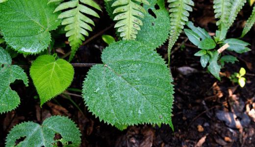 触れるだけで激痛をもたらす猛毒植物「ギンピ・ギンピ」から新たな神経毒が発見される
