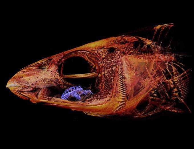 進化生物学者が研究中に寄生生物「ウオノエ」を偶然発見、貴重な資料に