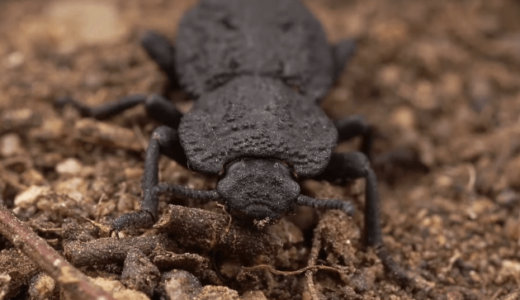 車に踏まれても潰れない異常な強度を持った昆虫の秘密が明らかになる、カリフォルニア大学・東京農工大学
