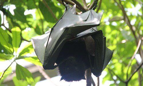 ぶら下がっているコウモリはどのようにして排泄を行うのか?