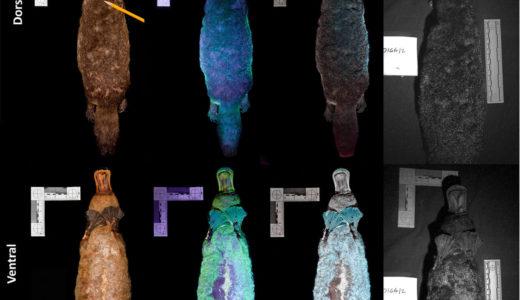 カモノハシに紫外線を照射すると光ることが明らかになる、ノースランド大学