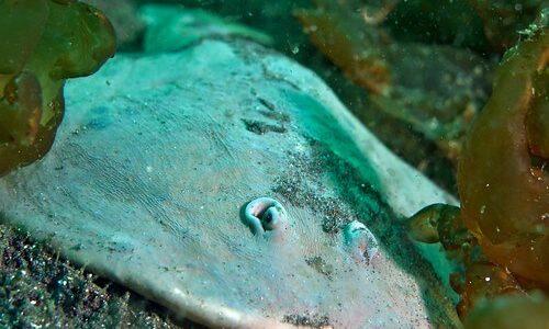 底棲生物であるシビレエイを利用して海底マップを作成することに成功、理化学研究所