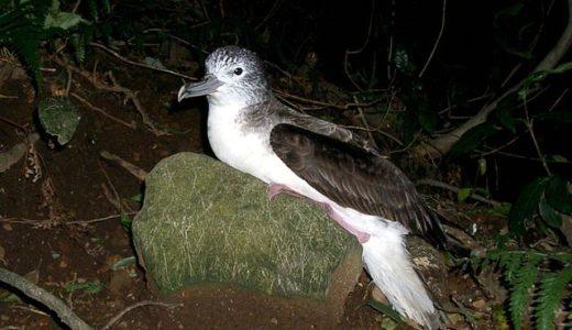 準絶滅危惧種のオオミズナギドリを襲う野猫、たった1匹で年間300羽以上が犠牲に――山階鳥類研究所ら