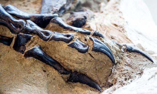 トリケラトプスとT・レックスが完全な形で一緒に発見された「決闘する恐竜」の化石が博物館で展示へ